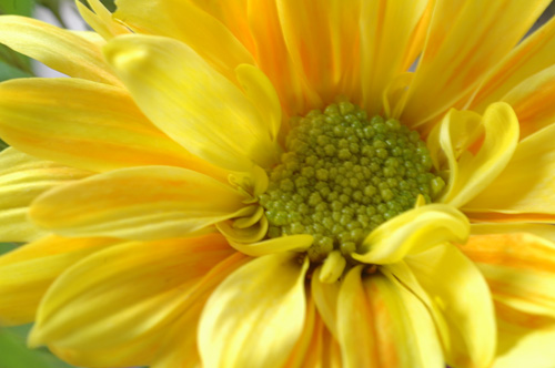 yellow flowr