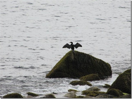 Cormorant on the rocks in Magnolia.. Looks like Batman