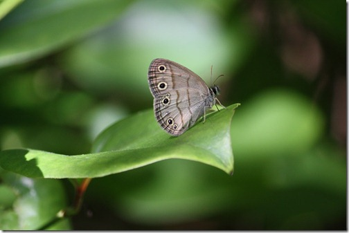 Little Wood-satyr (ventral)