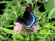 red spotted purple and marsh milkweed