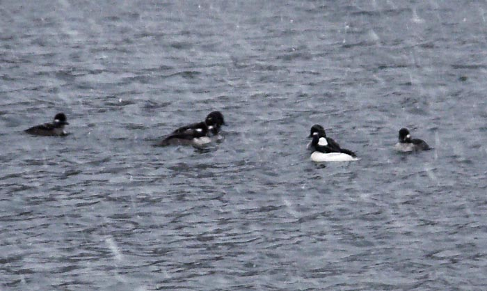 photo of buffleheads