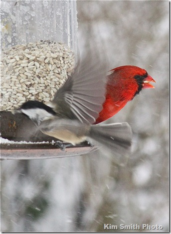 Black-capped Chicadee and Cardinal hungry at the feeder during blizzard