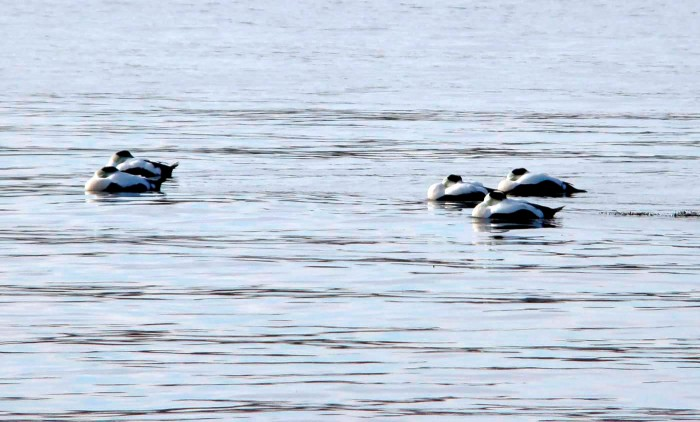 Photo of raft of common eiders with beaks tucked under their wings in the cold