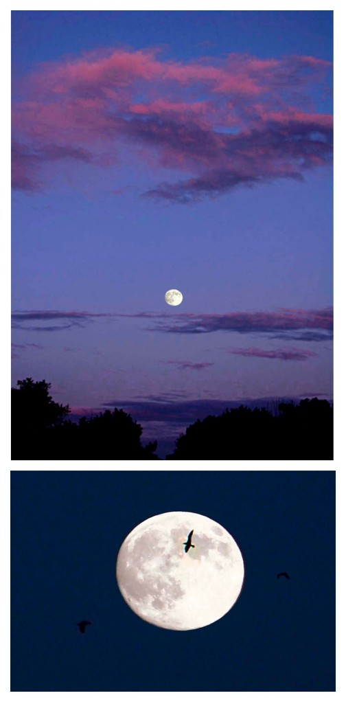 photos of full moon over Annisquam at sunset and seagull flying in front of full moon