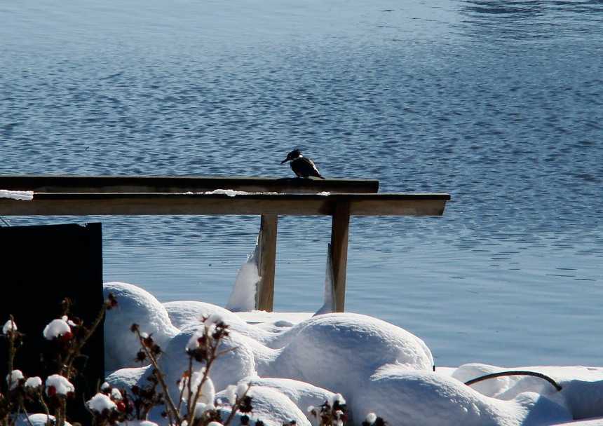 belted kingfisher resting on a pier in annisquam