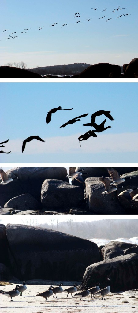 Series of photos of a flock of geese on the beach, taking flight, and flying away