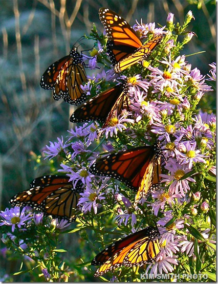 Monarch Butterflies Nectaring at Smooth Asters