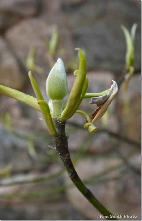 Magnolia sieboldii bud