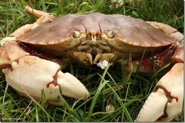 Crab_Grass