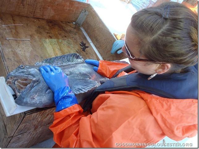 GMRI Intern, Kristina, measures a wolffish