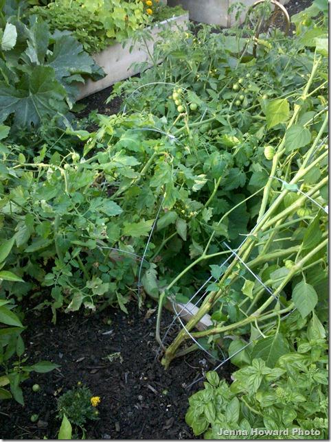 falling tomatoes
