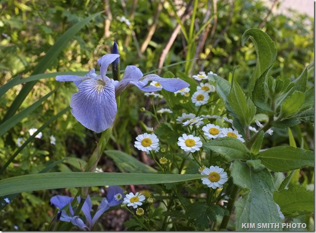 Feverfew and Native Iris versicolor-2