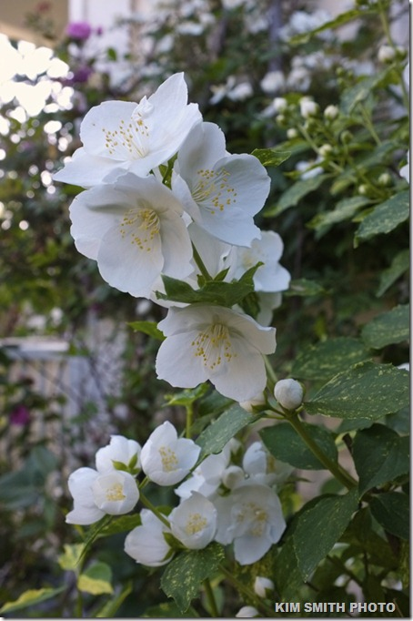 Variegated Mock Orange Philadelphus