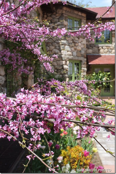 7. Eastern Redbud -1 (Cercis canadensis)