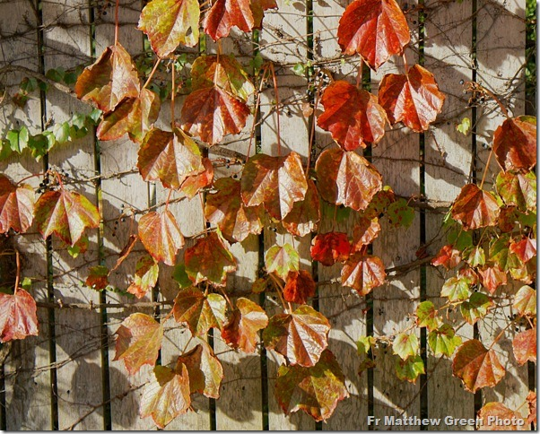 _Autumn leaves on a vine in Gloucester