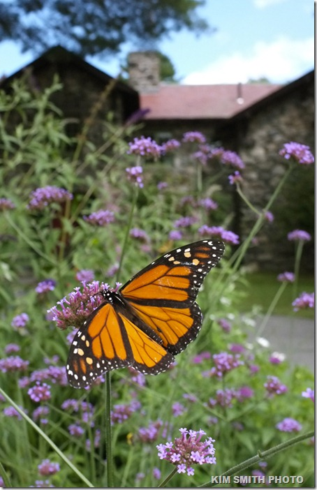 Monarch Butterfly and Verbena bonariensis