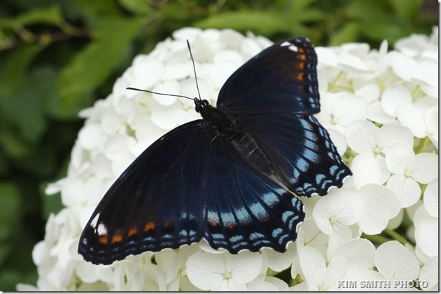 Red-spotted Purple and Annablelle Hydrangea_DSF1481