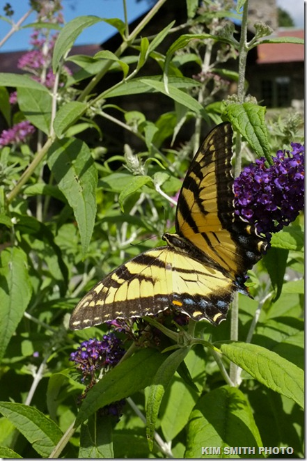 Eastern Tiger Swallowtail, Willowdale