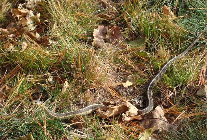 Did You Know Garter Snake Goodmorninggloucester