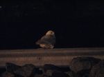 snowy owl 2008 2
