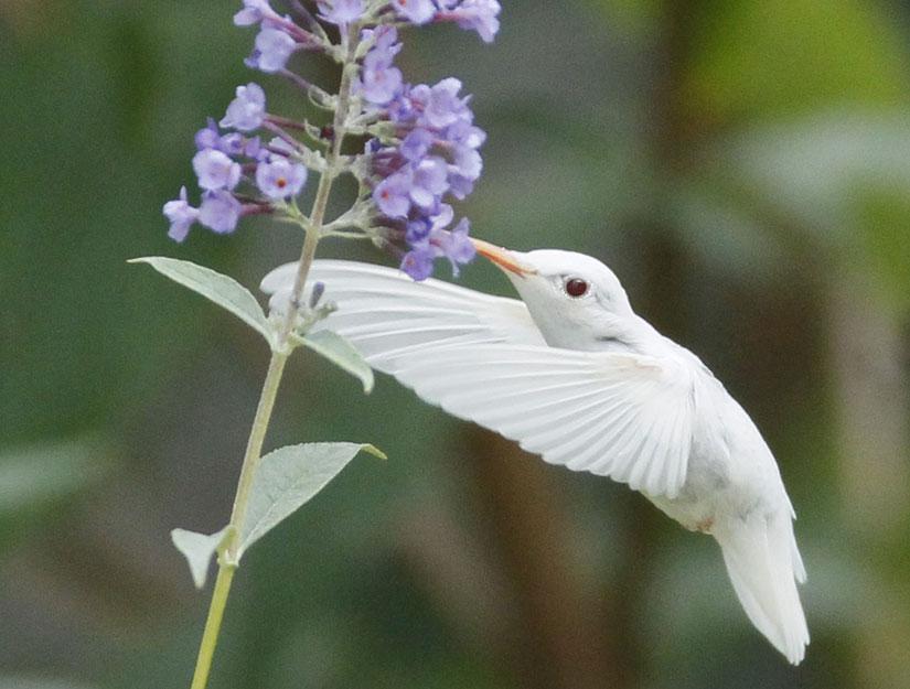 Rare Albino Ruby-throated Hummingbird | GoodMorningGloucester