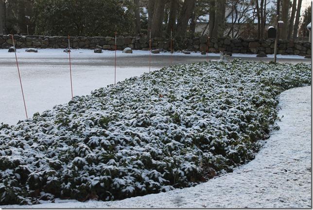 Snow on the Pachysandra