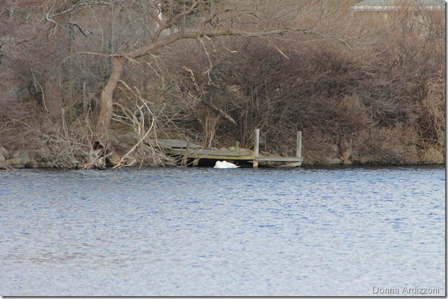 February 25, 2012 Swans nestled under a pier on Niles Pond