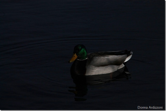 February 25, 2012pretty little duck at Niles Pond