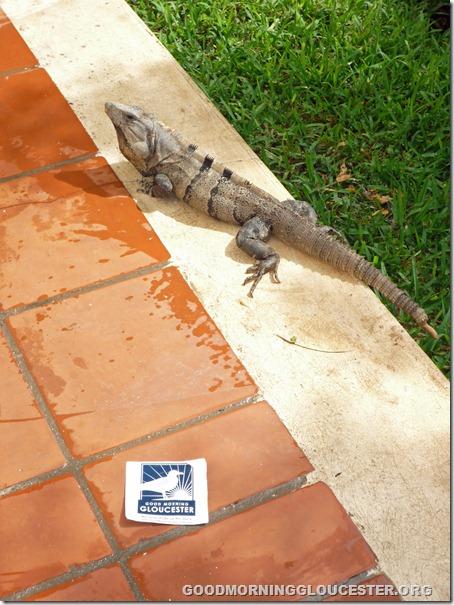 gmg iguana