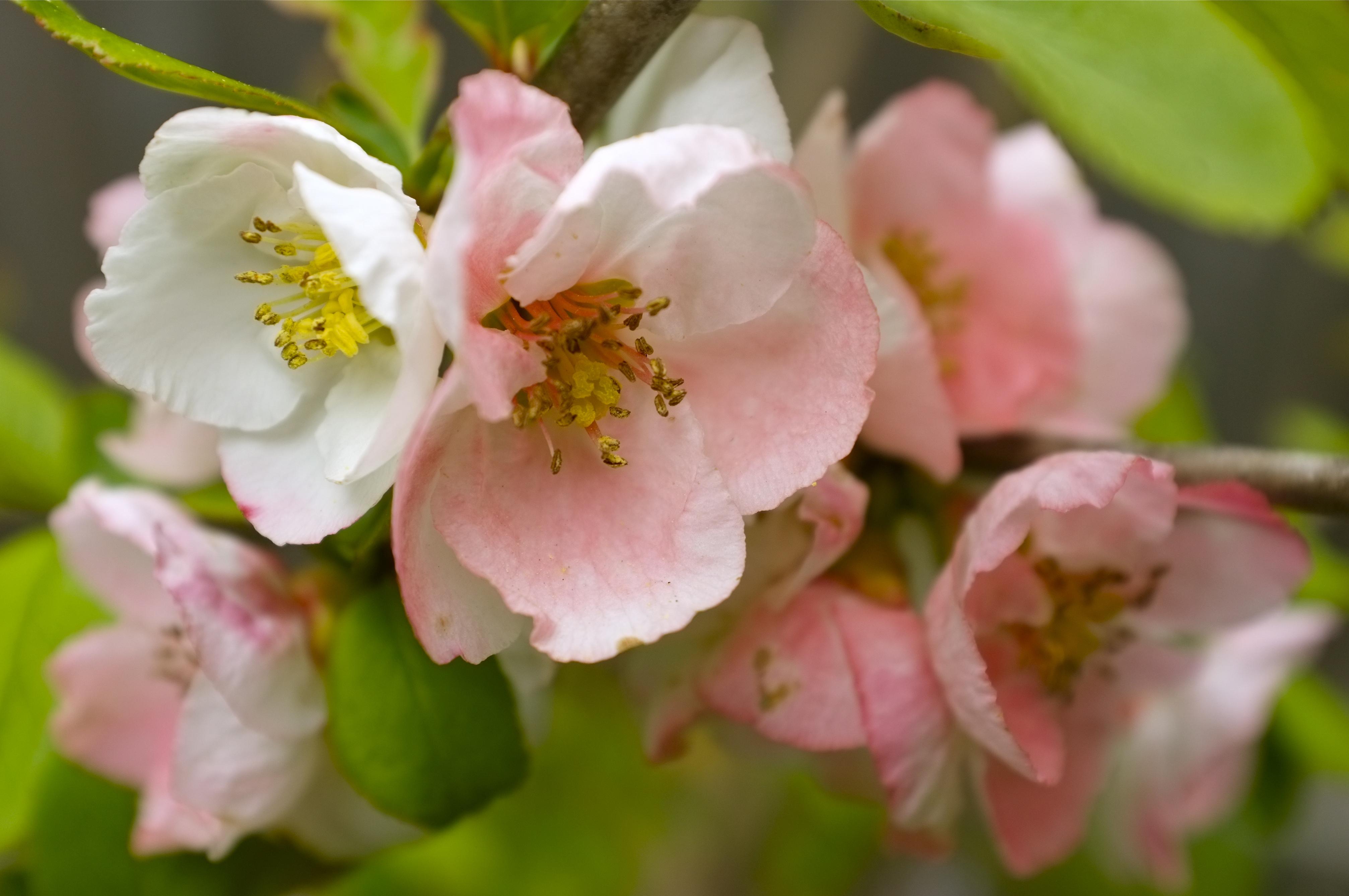 Japanese Flowering Quince 'Toyo Nishiki'