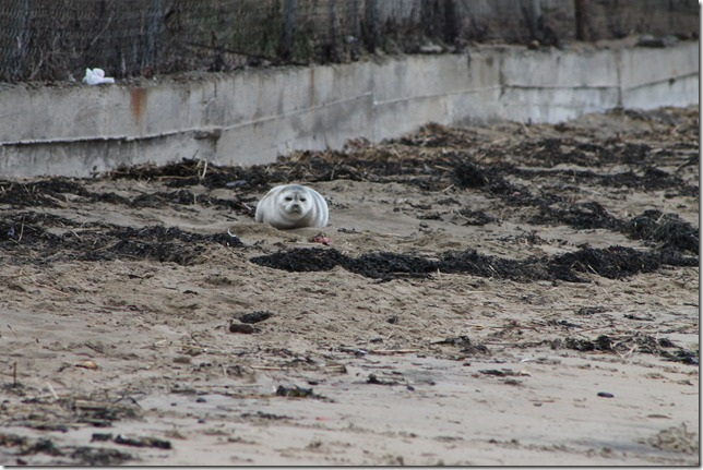 March 29, 2012 abcde baby seal