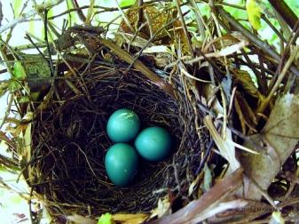 Gray Catbird Eggs