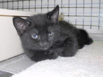 Shio, Kitten at Cape Ann Animal Aid