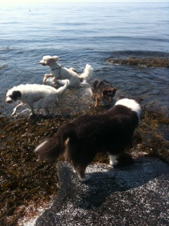 Dogs playing with the Fairy Dog Ma Gloucester Ma