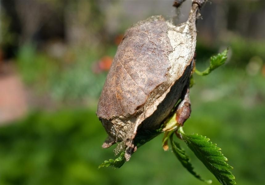 Polyphemus Moth Antheraea polyphemus cocoon