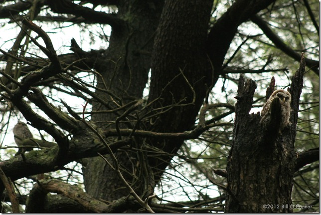 Ravenswood_Barred_Owlet_and_Mother