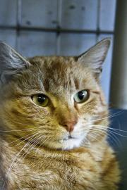 Whitman Pet of the Week, Cape Ann Animal Aid, Cat