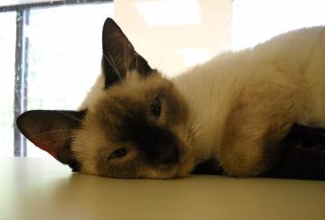 pet of the week, siamese cat