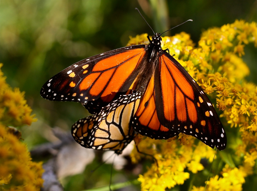 Monarch Butterflies mating seaside goldenrod
