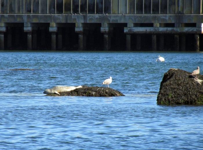 harbor seal, gloucester harbor