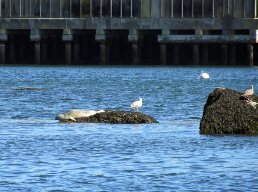 harbor seal, gloucester harbor