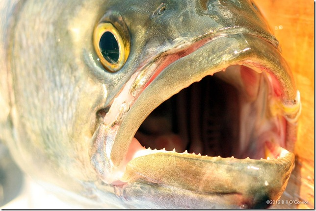 Bluefish_Mouth