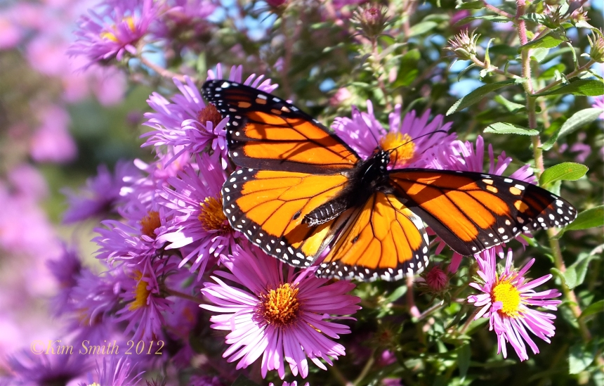 Monarch Butterfly ©Kim Smith 2012-1