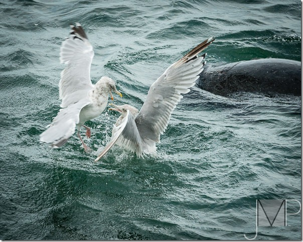 Monteferrante_J_Seagull Fight and Harbor Seal