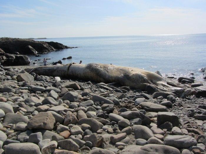 whale, rockport ma