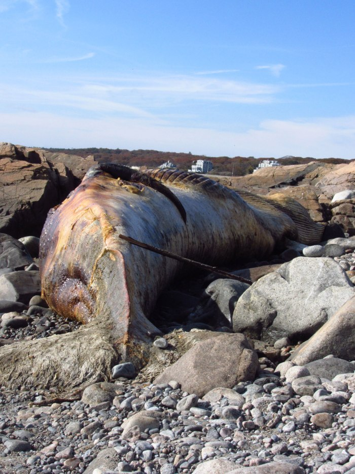 whale, washed ashore