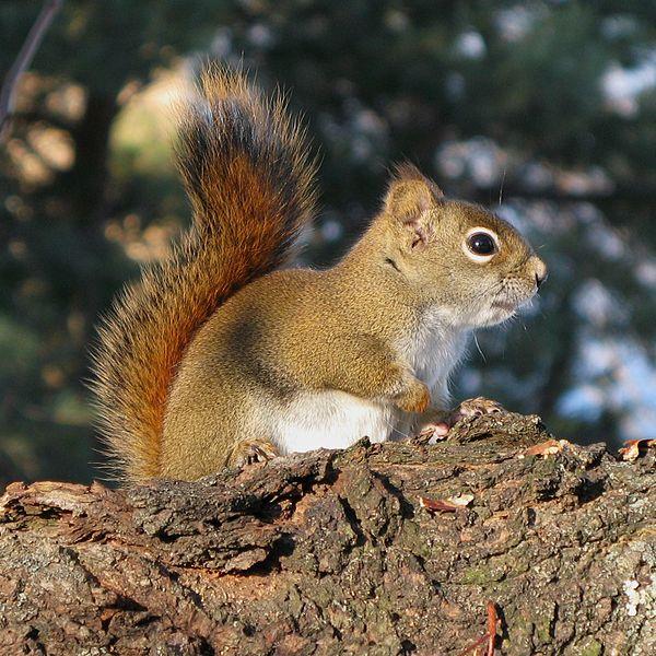 American red squirrel photo - Tamiasciurus hudsonicus - G99579 ...