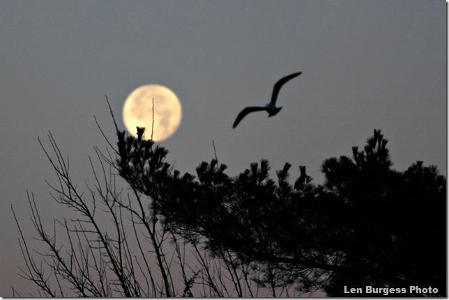 Moon&Gull_4891