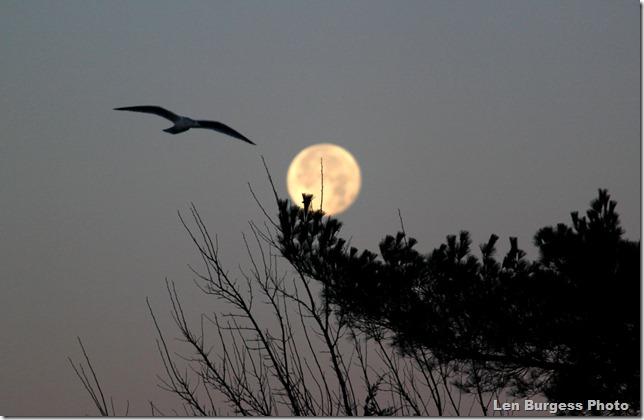 Moon&Gull_4892