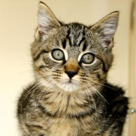 pet of the week, porter, kitten for adoption
